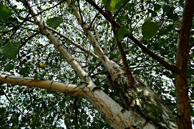 strom bříza
